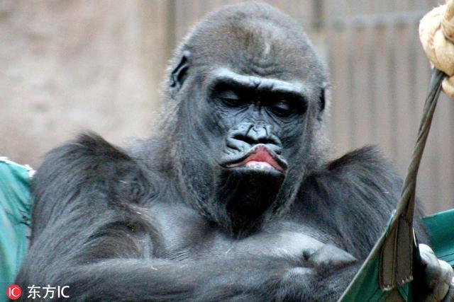 捷克「網紅」大猩猩教你如何嘟嘴撒嬌 這畫面太美不敢看 - 每日頭條