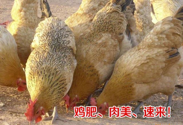 養土雞。怎樣才能提升養殖效益、多賺錢?(二) - 每日頭條