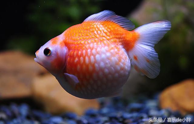 世界十大名貴金魚,最後一個你可能都沒見過 - 每日頭條