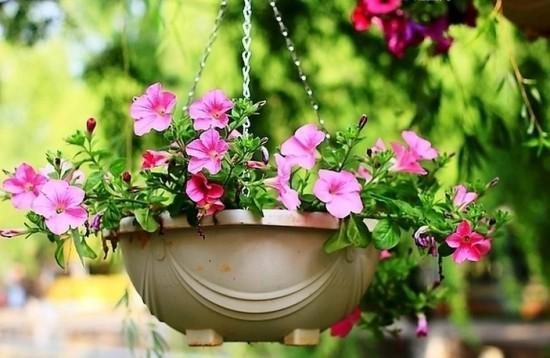 養花技巧:如何將花卉養出風鈴一般的感覺-吊盆花卉 - 每日頭條