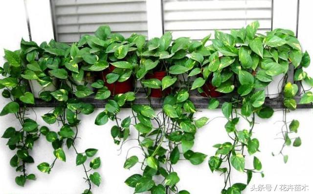 綠蘿栽培技術 - 每日頭條