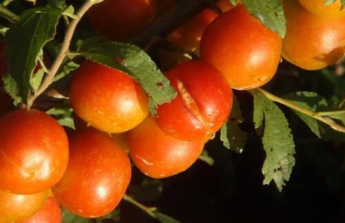 鈣果是什麼水果 鈣果能補鈣嗎 - 每日頭條