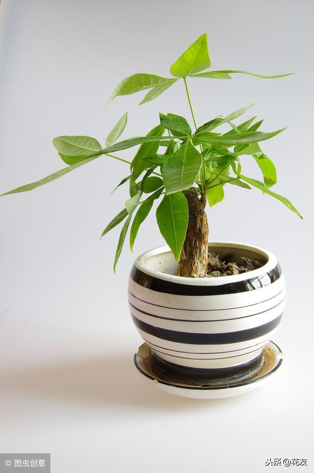 發財樹如何扦插繁殖?扦插時需要注意什麼問題? - 每日頭條