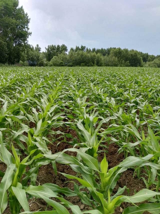 2017年秋玉米看漲。下一年種子怎麼選? - 每日頭條