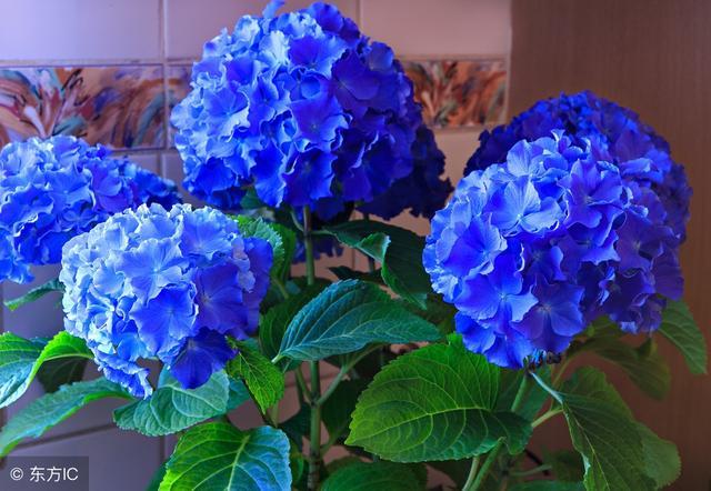 繡球花盆栽原來就得這麼養,這次花開比拳頭還大,真漂亮 - 每日頭條