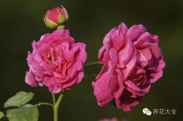 50種常見花卉施肥方法。讓你養出驚為天人的花朵 - 每日頭條