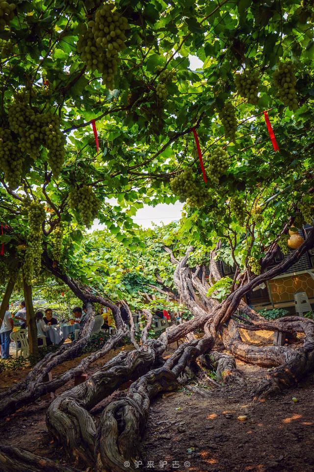 門前一棵百年葡萄樹,淡淡的,昌黎葡萄溝里的童年歌謠 - 每日頭條