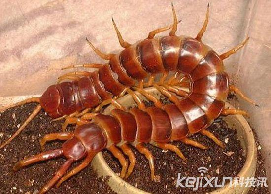 全球最恐怖的十大巨型蜈蚣 膽小慎入 - 每日頭條