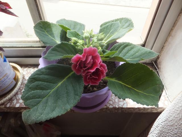 大巖桐開花大朵顏色多樣。想要養好一盆大巖桐。這幾點你要注意! - 每日頭條
