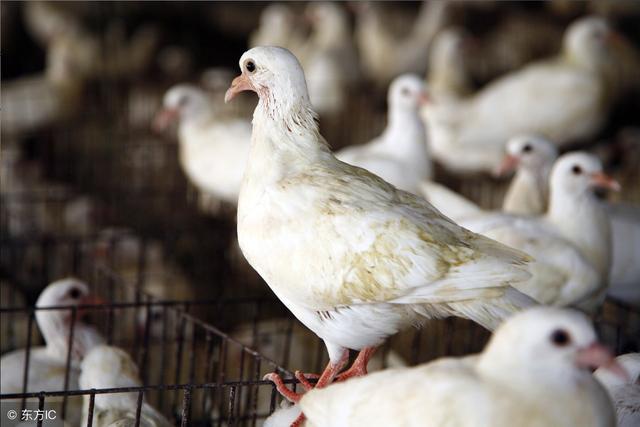 三種鴿子最適合當種鴿! - 每日頭條