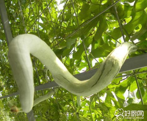 蛇瓜的營養成分 - 每日頭條