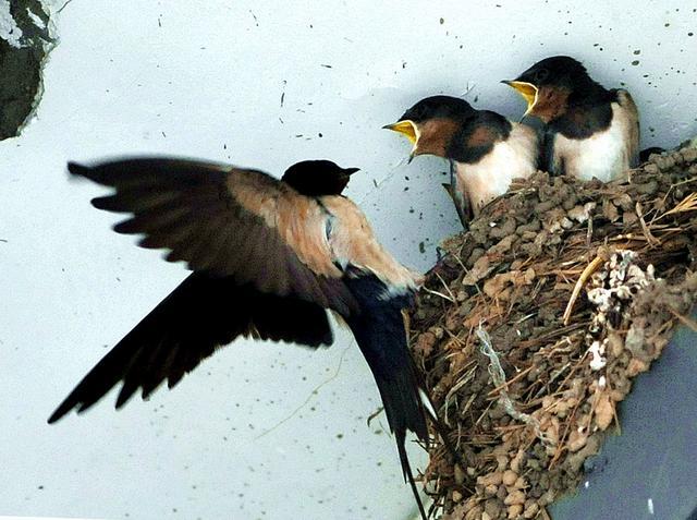 今年,燕子去你家築巢嗎? - 每日頭條