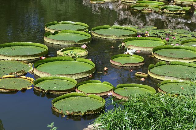 現代園林水景中必不可少的觀賞植物--王蓮 - 每日頭條