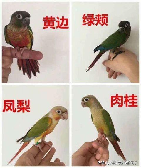 12種小太陽鸚鵡 認識5種以上 可以說是養鳥老司機了 - 每日頭條