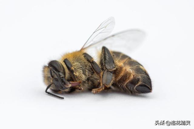 新老蜂有什麼不同。蜜蜂衰老及健康特徵看哪裡?這是要了解的問題 - 每日頭條