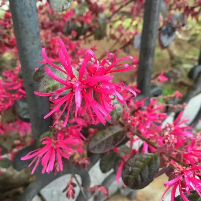 紅花檵木,金縷梅科, 檵木屬檵木的變種 - 每日頭條