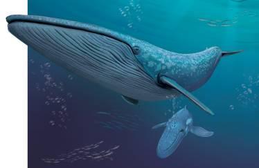 冰雪極地|海洋中的巨無霸——藍鯨 - 每日頭條