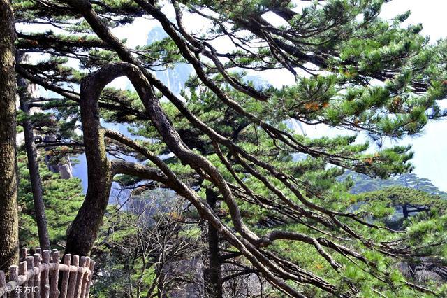 這些寫 松樹 的詩句你一定沒見過 - 每日頭條