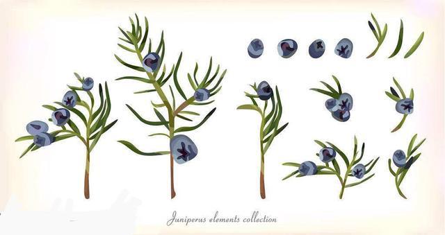 Juniper Berry 杜松漿果 - 每日頭條