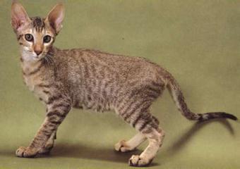 貓咪的常見品種分類,原來有這麼多種! - 每日頭條