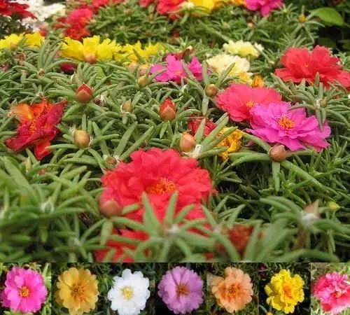 從種子到盆栽,天天開花的松葉牡丹(太陽花) - 每日頭條