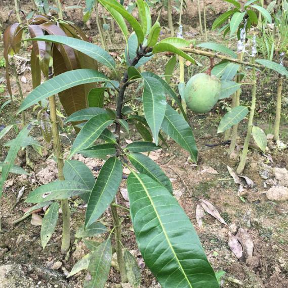 市面很難見到的果樹苗,耐蟲害易打理,來年果壓滿枝頭! - 每日頭條
