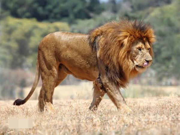 第三輯 好望角獅、羅斯福獅、西非獅 - 每日頭條