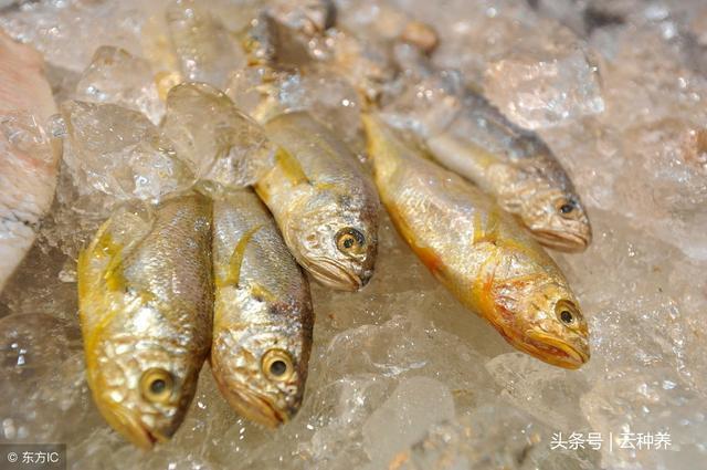 黃花魚作為常見的經濟魚類。有什麼營養價值?如何養殖黃花魚? - 每日頭條