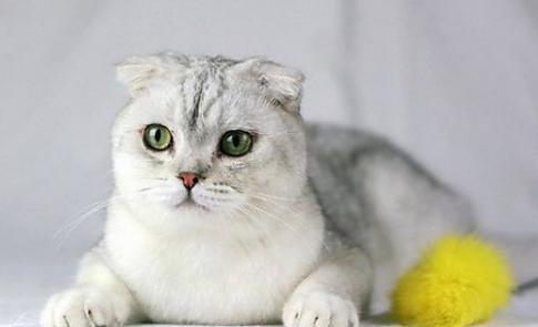 為什麼養貓千萬都不要養折耳貓?看完這些原因我真的怒了! - 每日頭條
