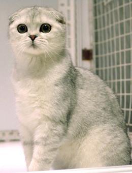 十大最受歡迎的寵物貓種類排行榜 - 每日頭條
