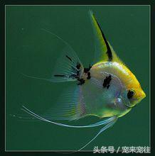 寵物蒔養神仙魚又名燕魚,天使魚,小神仙魚,小鰭帆魚等 - 每日頭條