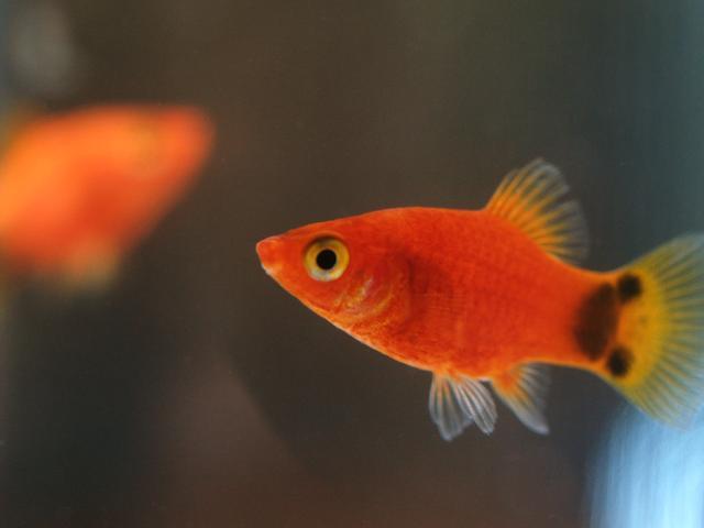 熱帶魚中超好養的「百萬魚」——《孔雀魚》養殖大全 - 每日頭條