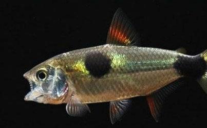 兇猛的小型觀賞魚有哪些品種? - 每日頭條