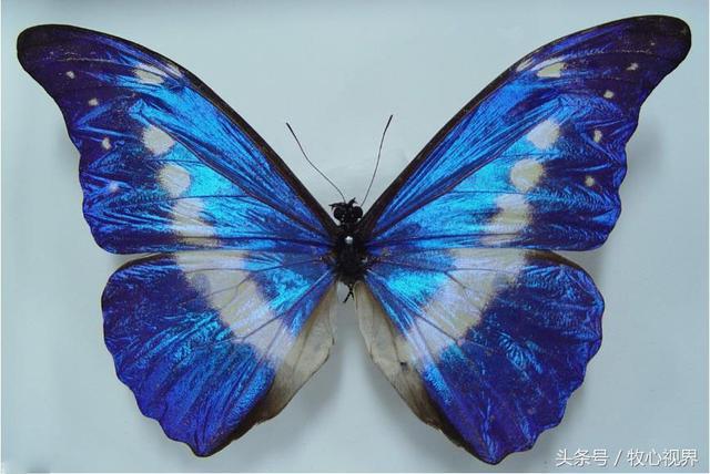 世界上最美麗的蝴蝶——光明女神閃蝶又稱海倫娜閃蝶 - 每日頭條