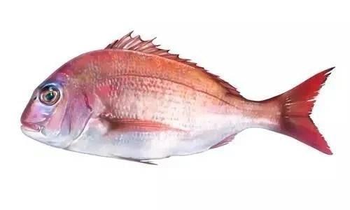 傳說中10大最好吃的海魚之一,號稱「鯛魚之王」,你認識嗎?——真鯛 - 每日頭條