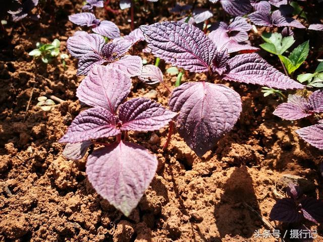 鄉村兩種很相似的植物,葉子形狀相同,而顏色卻不一樣,您可認識 - 每日頭條
