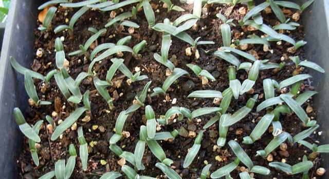 君子蘭怎樣授粉、結果。種子怎麼養成小苗? - 每日頭條