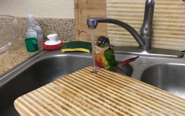 這什麼鸚鵡?會自己洗澡。好想養一隻! - 每日頭條