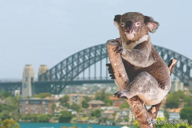澳大利亞上千隻考拉死亡。媽媽抱著孩子不知去向哪裡? - 每日頭條