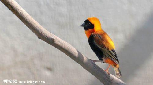 黃頂寡婦鳥簡介習性介紹圖片欣賞黃頂寡婦鳥餵養要點 - 每日頭條