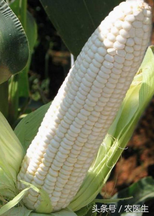種了這麼多年玉米,你認識你家玉米品種嗎? - 每日頭條