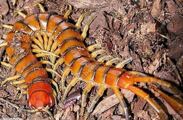 盤點世界各地那些巨型蜈蚣,真是讓人頭皮發麻 - 每日頭條