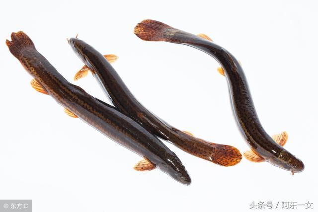 素有「水中人參」之稱——泥鰍 - 每日頭條