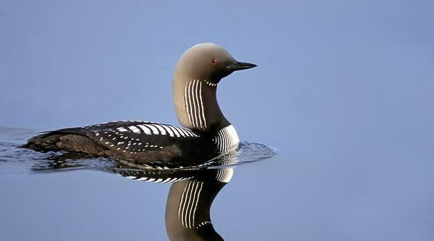 動物圖集:太平洋潛鳥 - 每日頭條