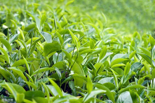 茶葉種植需要的基本條件有哪些?哪裡的茶葉比較好?看完你就懂了 - 每日頭條