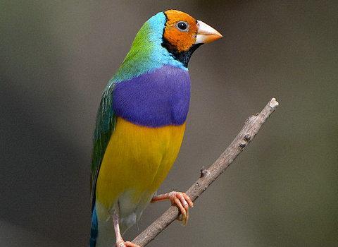 七彩文鳥的飼養知識 - 每日頭條