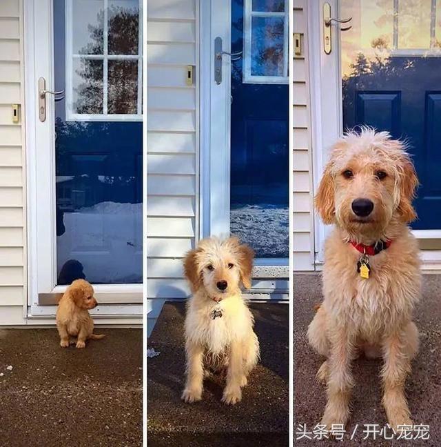 時光不等狗啊!大型狗狗這增長速度有點過分了吧!一眨眼就再也抱不動了! - 每日頭條