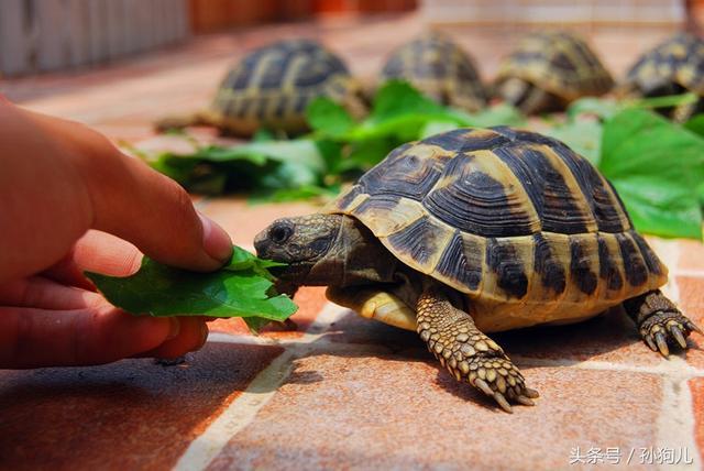 科普貼。8種寵物陸龜的種類。看完後你肯定想養一個 - 每日頭條