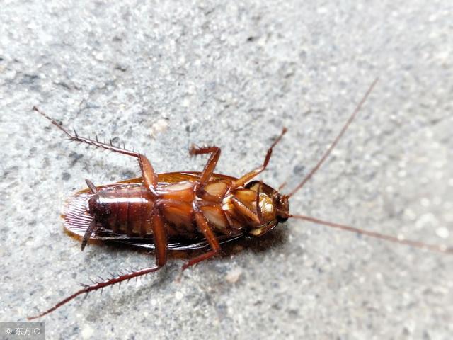 生活常識:蟑螂最怕什麼?怎麼滅蟑螂? - 每日頭條