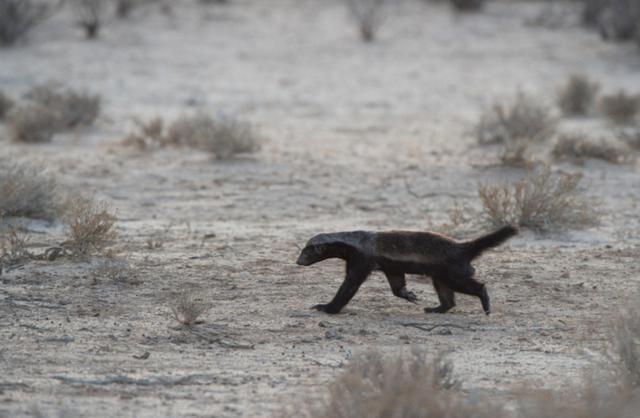 11隻野狗掏肛黑斑羚時。蜜獾竟來搗亂。結局著實讓人驚了一把 - 每日頭條